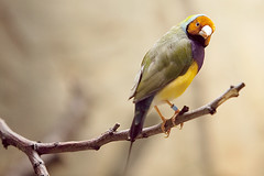 what's up? (Sabinche) Tags: bird zoo finch gouldianfinch frankfurtzoo canoneos5dmarkii
