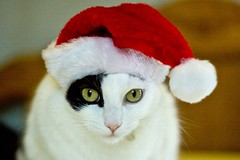A little Christmas hate.... (Hockey.Lover) Tags: cats kittens marky jetli catinthehat christmaskitties christmas2009 howeveritsstillmylife