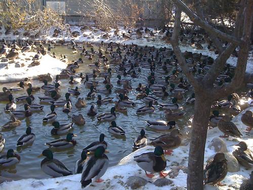 Ducks! 1