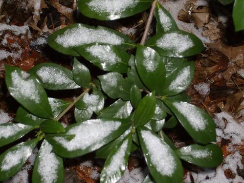 Gardenia leaves