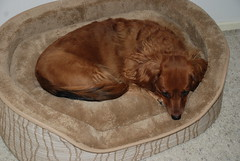 Molly the Dachshund Loves her Dog Bed