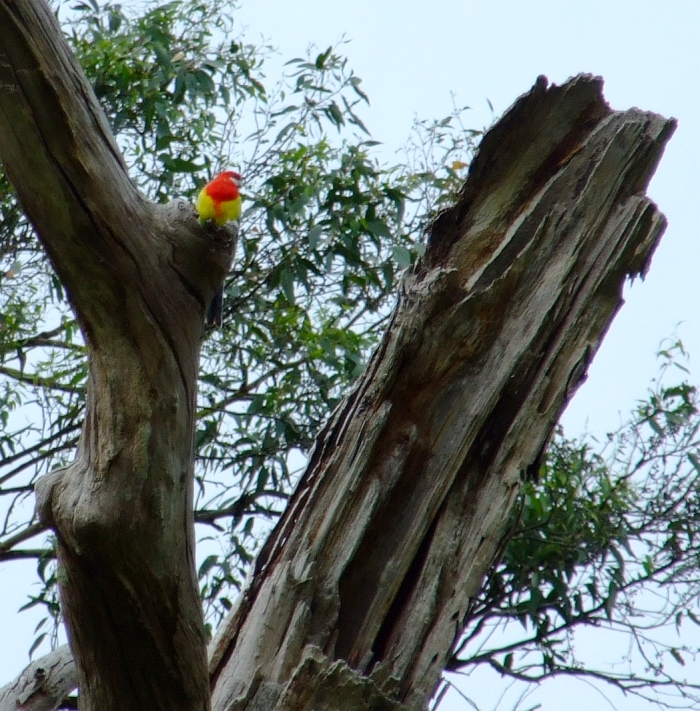 eastern rosella parrot in tree