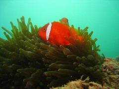 Spinecheek Anemonefish at Salu Reef