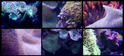 Elysian Coral