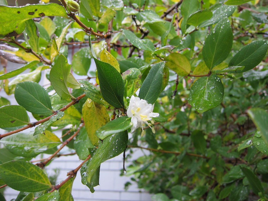 Winter honeysuckle flower and aphid damage