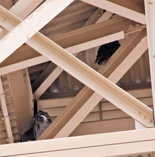 Casa Grande Owls