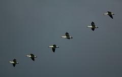 68EV0344 (sgbaughn) Tags: geese goose snowgeese snowgoose