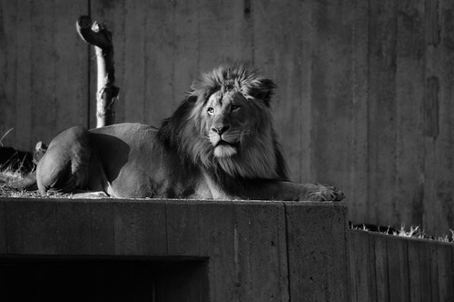 National Zoo Lion