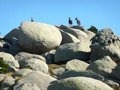 Sur le sentier de la crête de Prunu après Tre Funtana : 4 chèvres sur des blocs rocheux