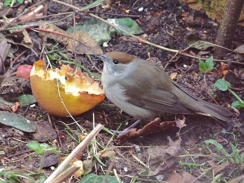 Blackcap (female) (4)
