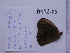 Coeruleotaygetis peribaea
