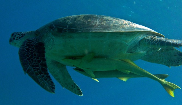 Abu Dabbab Dive Turtle
