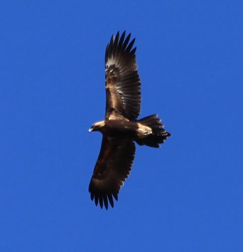 2010-01-30_0956-10b Wedge Tailed Eagle at Goondah