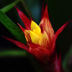 Exotic Beauty (AnyMotion) Tags: travel flowers red plants macro rot nature floral colors yellow square reisen costarica colours blossom natur pflanzen blumen gelb monteverde bromeliaceae makro blte 2009 centralamerica farben onblack makroaufnahmen anymotion guzmania 800x800 canoneos5dmarkii bromeliengewchs 5d2 republicofcostarica