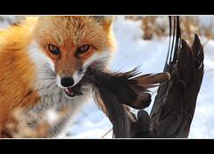 What? (GrimPapa) Tags: winter red snow nikon wildlife goose fox prey refuge nwr bombayhook bfgreatesthits