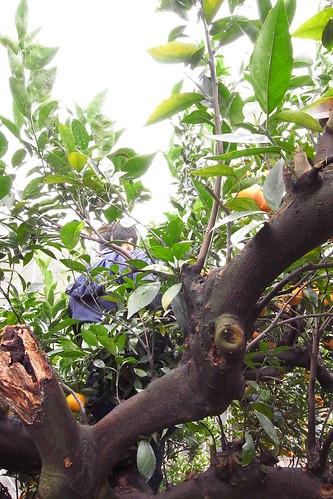 在樹上採橘子的Kevin