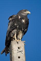 Aguila (ik_kil) Tags: chile birds aguila blackchestedbuzzardeagle geranoaetusmelanoleucus regiónmetropolitana avesdechile cuestaloprado geranoaetusmelanoleucusaustralis