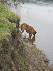 gone fishing (joysaphine) Tags: winter flickr angus joy drinking february rhodesianridgebacks ridgebacks gonefishing dryslwyn afontywi rivertywi myridgebacks busterdog relaxingwalks 20092010 flickrgiants joysaphine
