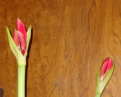Amaryllis on Feb 8, 2010