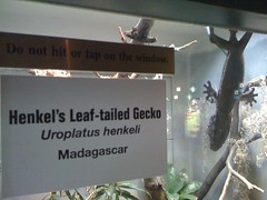 Henkel's Leaf-tailed Gecko at Lincoln Park Zoo