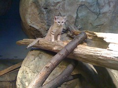 Sand Cat at Lincoln Park Zoo #1
