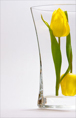 Tulip 2/3 (*Glueckskind*) Tags: 2 two flower glass yellow blossom gelb tulip vase blume blte glas zwei tulpe closetonature canon40d