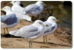 ~jonathans gathering~ (itsjustme1340-Ress) Tags: dof gulls gathering jonathanlivingstonseagull ress ilovethis coollittlefaces
