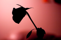 rose per week 1 (eazyd) Tags: red rose backlit dying wilting masterphotos