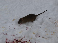 Rat in Snow