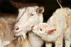 [フリー画像] [動物写真] [哺乳類] [山羊/ヤギ] [親子/家族] [キス/KISS]      [フリー素材]