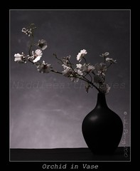 RM Inspired Orchid 2010 (middleearthimages) Tags: life white black orchid robert john photography still mapplethorpe vase 2010 robertmapplethorpe perring middleearthimages johnperring johnperringphotography