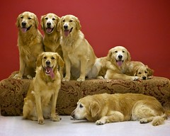 Seven Of Nine (Back in the Pack) Tags: startrek dog calgary dogs goldenretriever austin puppy ben jazz quinn 5d royce goldens jewel goldenretrievers teeka beno dogdaycare 7of9 sevenofnine 2470mmf28l 5dmarkii wwwbackinthepackca eos5dmarkii albertabarks