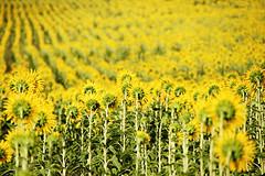 [フリー画像] [花/フラワー] [向日葵/ヒマワリ] [花畑] [イエロー/花]       [フリー素材]