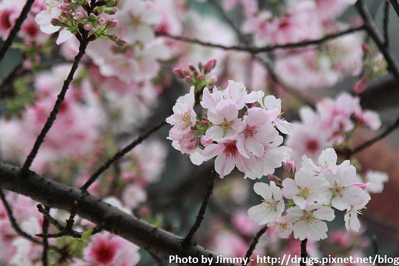 2010淡水天元宮櫻花 吉野櫻