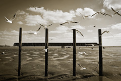 Seagulls (louisahennessysuou) Tags: seagulls thames sepia shadows mud estuary leigh leighonsea southend southendonsea 66365 leighmarshes ppt3652010 woodenthingy