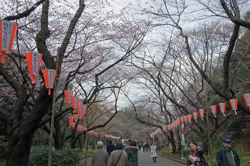 Sakura street at Ueno