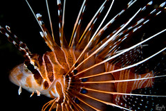 Light my Fire (Lea's UW Photography) Tags: underwater maldives lionfish fins malediven unterwasser canonefs60mm rotfeuerfisch leamoser