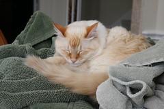 Asleep (greatandlittle) Tags: cats towels asleep flamepointsiamese