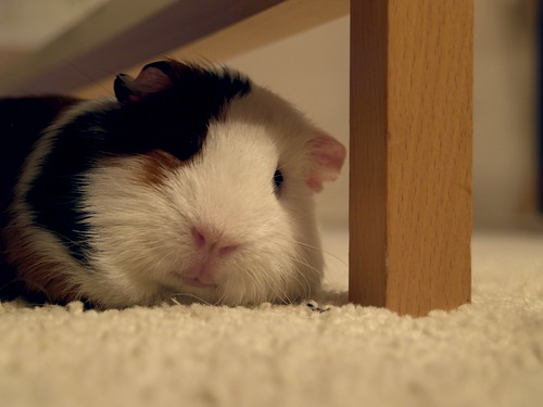 Puck the Guinea Pig taking a nap by Theo Pronk