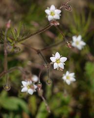 sand spurry? spergularia macrotheca?