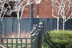 img_100-3673 (Mark Eichin) Tags: cambridge fence pigeon massachusetts sparrow universitypark