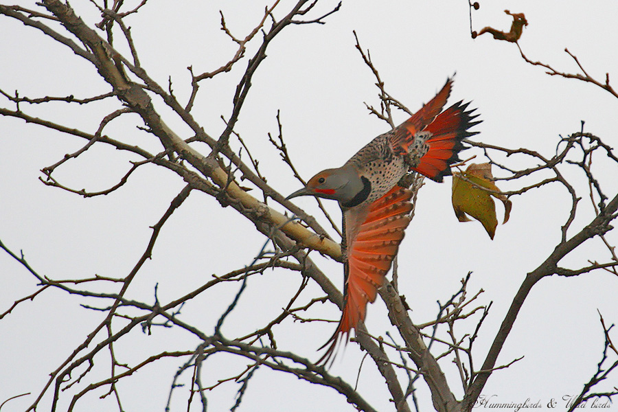 Northern-Flicker 120904