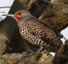 Male Flicker (Walk in the Woods Photography) Tags: flickers