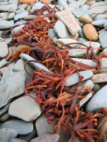Red seaweed 2