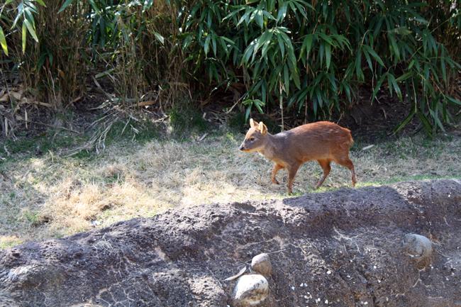 world's tiniest deer =