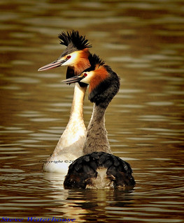 GREATER CRESTED GREBES MATING DANCE
