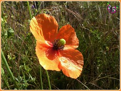 Amapola (mrtsantiso) Tags: red espaa naturaleza flower verde green primavera nature spring spain rojo near flor petal galicia heat poppy cerca calor ancares petalos amapola
