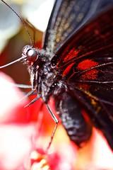 Butterflies (pagarneau) Tags: flowers plants plant flower nature fleur fleurs plante garden botanical colorful montreal jardin botanic botanicgarden botanique botanicalgarden plantes color jardinbotanique