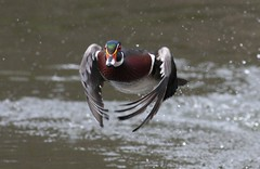 Wood duck coming in! (naturelover2007) Tags: toronto bird nature duck highpark flight birdwatcher woodduck naturelover naturesfinest specanimal platinumphoto wowiekazowie faunainmotion bestofanimals thewonderfulworldofbirds