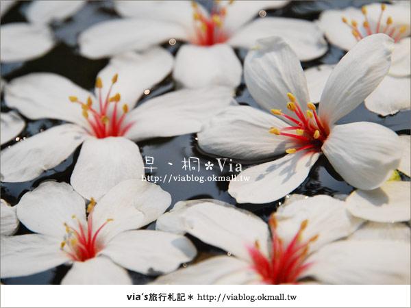 【2010桐花祭】桐花最新情報*彰化挑水古道油桐花15